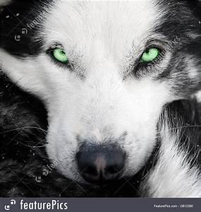 Pets: Husky Dog With Green Eyes - Stock Image I3812390 at ...