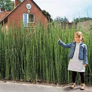 Welches Gras Als Sichtschutz : ber ideen zu schachtelhalm auf pinterest la la anthony schilf und moderner patio ~ Sanjose-hotels-ca.com Haus und Dekorationen