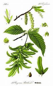 Linde Baum Steckbrief : hainbuche wikipedia ~ Orissabook.com Haus und Dekorationen