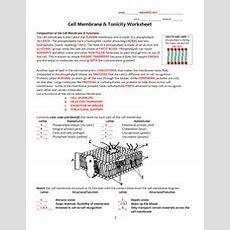 Cell Membrane Coloring Worksheet  Namekey Date Period Cell Membrane Coloring Worksheet