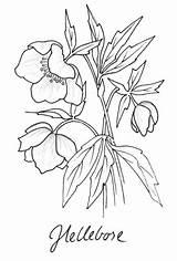 Coloring Hellebore Wordpress Drawing Botanical Flower sketch template