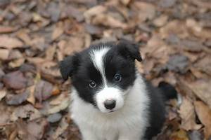 Border Collie Puppies, Photos, Breed Information, Training
