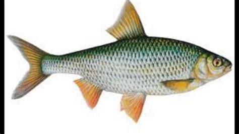 les poissons d eau douce youtube