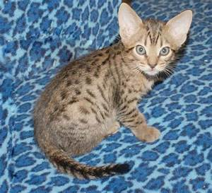 Ocicat Info, Personality, Kittens, Pictures