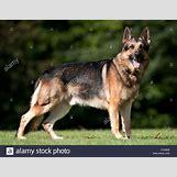 German Shepherd Face Profile | 1300 x 1009 jpeg 159kB