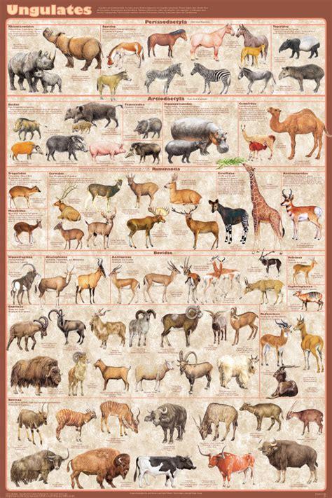 ungulates poster hoofed animals mammals chart posters families feenixx a253 laminated salg