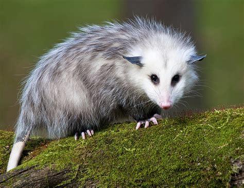 Possum Images Opossum Amazing Animal Interesting Facts Photos The