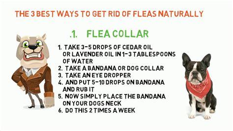 top  natural ways   rid  flea  dogs youtube