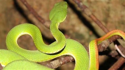 enam jenis ular  berbahaya    bali