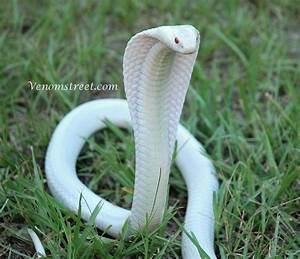 Ivory Snake. by ScarletMercenary98 on DeviantArt