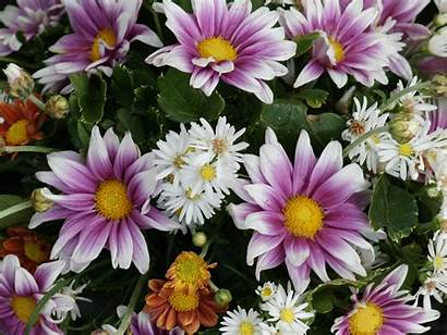 Daisy Flower Flowers Desktop Wallpapers Quotes Daisies