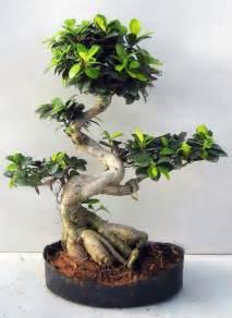 Bonsai Ficus Ginseng : best 25 bonsai ficus ideas on pinterest ficus bonsai tree large bonsai tree and bonsai ~ Buech-reservation.com Haus und Dekorationen