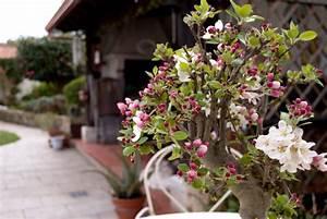 Apfelbaum Für Balkon : apfelbaum als bonsai welche sorten eignen sich ~ Michelbontemps.com Haus und Dekorationen