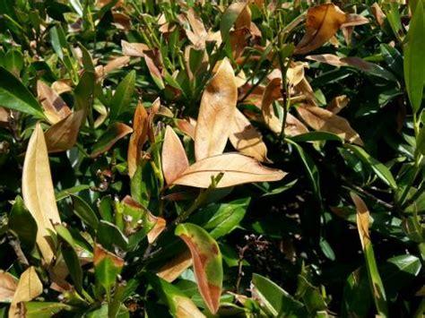 Kirschlorbeer Im Garten Pflanzen Oder Besser Nicht by Kirschlorbeer Tr 228 Gt Gelbe Oder Braune Bl 228 Tter Mein