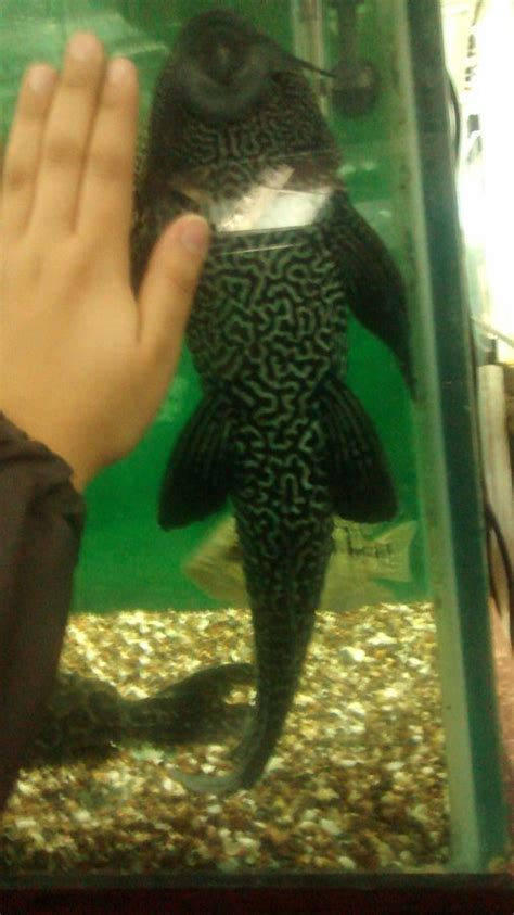 visual perspective   common plecos size  aquarium club