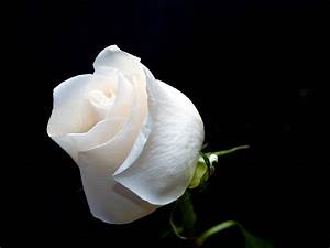 Mouse Droppings: White Roses