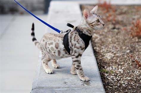 Savannah Cat Owners #1 Guide!  Kitten Cost, Breeders, Advice