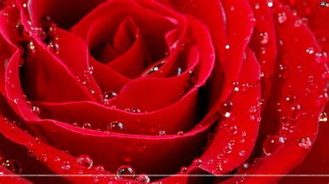fresh petals wallpapers wallpapersafari