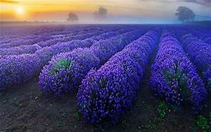 Lavender Flowers Backgrounds - Wallpaper, High Definition ...