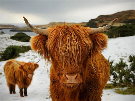 Highland Cattle New Photos And Info
