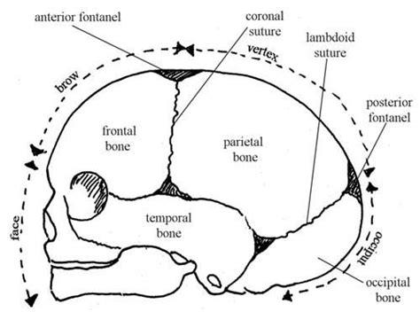 Newborn Diameter Diagram by Fetal Skull Flashcards Quizlet Midwife