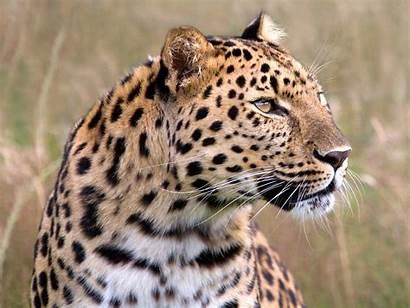 Wild Leopard Animals Rainbow Wallpapers Desktop Lion