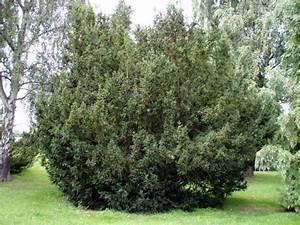 Eibe Schneiden Gefährlich : eibe taxus baccata direkt vom pflanzenversand der ~ Lizthompson.info Haus und Dekorationen