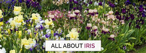 how to grow an iris shop breck s premium bulbs
