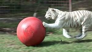 White Tiger loves her ball! - YouTube