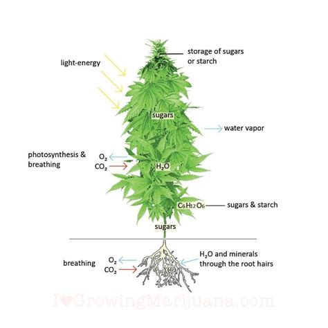 robert lighting contact what is a cannabis plant a breakdown of the anatomy and