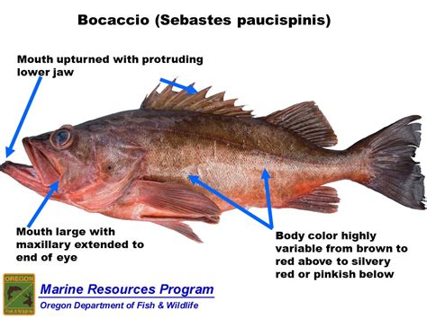 rockfish species groundfish fish sebastes cod grouper salmon bocaccio rock body oregon halibut sport mackerel seasons state inshore mako shark