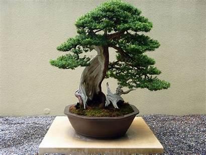 Bonsai Tree Japanese Plants Plant Indoor Desktop