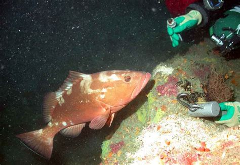 grouper study lloyd wrights reveals frank sea lumps steamboat reserve marine swanson madison newswise gulf mexico circle open squares keys