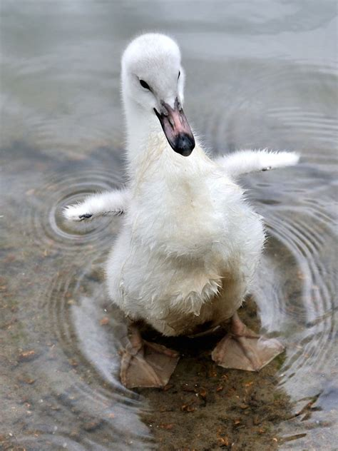 117 Best Images About The Ugly Duckling On Pinterest How