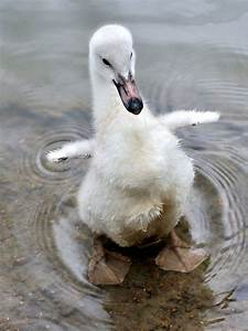 117 best images about The Ugly Duckling on Pinterest | How ...