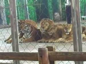 Young Siberian Tiger Much Taller Than Male African Lion At