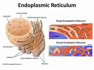 Diagram Endoplasmic Reticulum