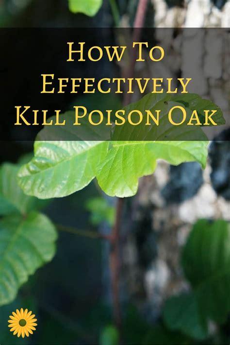 how to kill poison oak the best way to kill poison oak