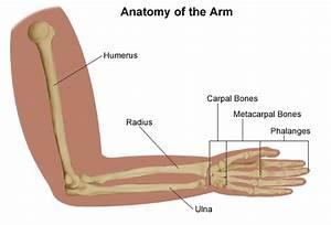 Medial Epicondylitis  Golfer U0026 39 S And Baseball Elbow