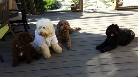 calm non shedding large dogs medium sized non shedding dogs that are calm breeds