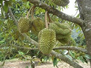 36 best Durian images on Pinterest | Fruit trees, Durian ...