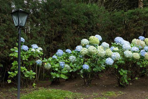 hortensien unterpflanzen diese pflanzen eignen sich