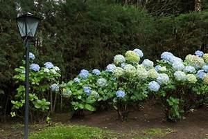 Hortensien Wann Pflanzen : pflanzen von hortensien hortensien bild foto von egger56 ~ Lizthompson.info Haus und Dekorationen