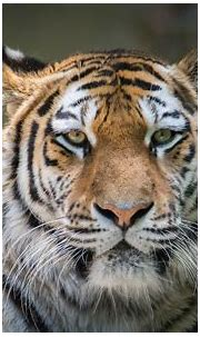 Tiger 4k Hd, HD Animals, 4k Wallpapers, Images ...