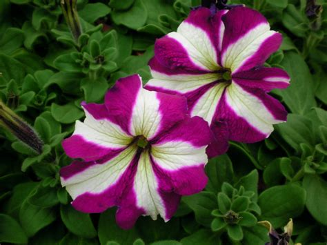 images petunias bravo purple star petunias
