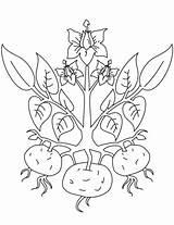 Coloring Plant Potato Kartoffel Ausmalbild Plants Zum Ausmalbilder Drawing Colorare Pomme Terre Kostenlos Printable Ausdrucken Patate Patato Tutorials Disegno Patata sketch template