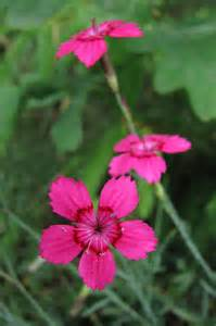 Perennials with Pink Flowers