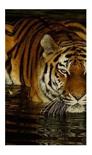 Tiger Is On Body Of Water During Nighttime 4K HD Animals ...