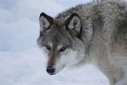Reference Wildlife Material Wolf Artist Offline Quick