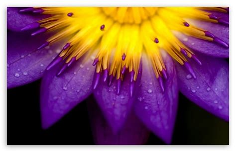 yellow and purple purple and yellow petals 4k hd desktop wallpaper for 4k ultra hd tv tablet smartphone